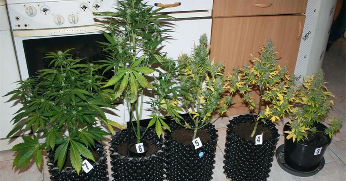 U stanu uzgajali marihuanu, a našli su im i zabranjene gljive