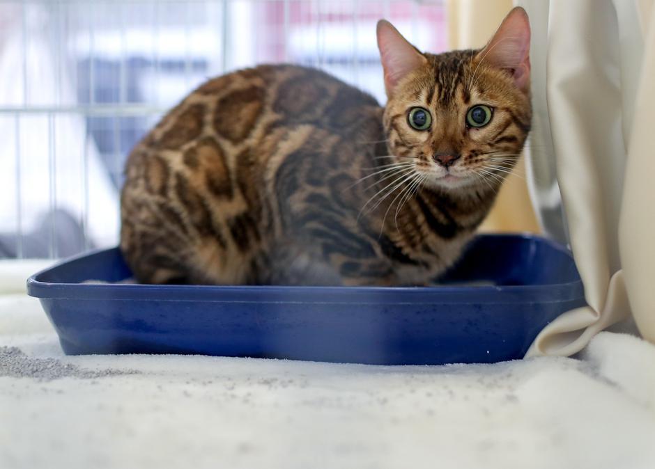 Zaprešić: Međunarodna izložba mačaka u trgovačkom centru Westgate   Autor: Igor Kralj/PIXSELL