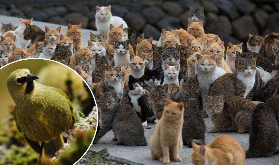 'POBIJTE IH SVE! TO JE MANJE ZLO' Radikalan zahtjev vodećih znanstvenika: 'Bolje istrijebiti mace, nego da ostanemo bez gougške strnadice'