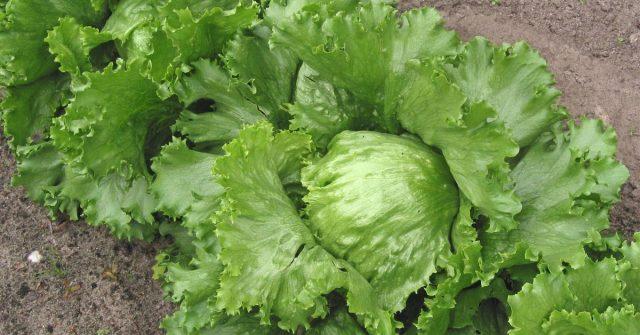Pet razloga zašto jesti Iceberg salatu: Puna vitamina i vlakana