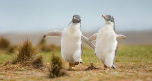 2 pingvina ponovno se vratila u sushi bar nakon što ih je policija izbacila