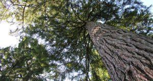 Živio je dvije godine na drvetu kako bi ga spasio od drvosječa