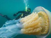 'Bilo je nevjerojatno': Snimili su meduzu od čak dva metra...