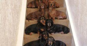 Poredao svojih 16 jazavčara na stepenice: 'Pomogla je loptica!'