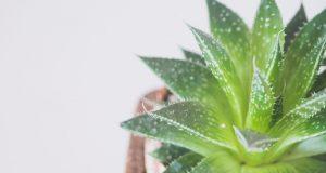 UGASITE KLIMU: Ove će sobne biljke prirodno rashladiti vaš dom