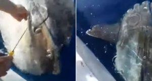 VIDEO: ULOVIO RIBU OD 200 KG PA JE PUSTIO NATRAG U MORE Vodički ribar objasnio veliku gestu: 'Neka beštija živi, ne volim ubijati radi atrakcije...'