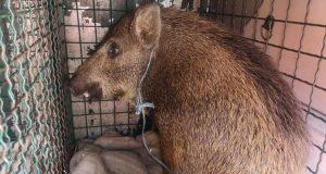 AUTO NALETIO NA VEPRA U ZAGREBU Sirota životinja zadobila je teške, po život opasne ozljede, volonteri daju sve od sebe da ga spase