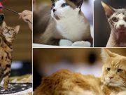 U Rijeku stigle najljepše mačke Europe, ali i najmanja u svijetu u Rijeku