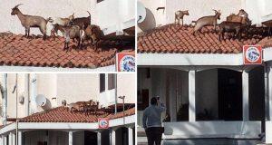 Beeeeegajmo odavde! Snimio je koze na krovu restorana u Istri
