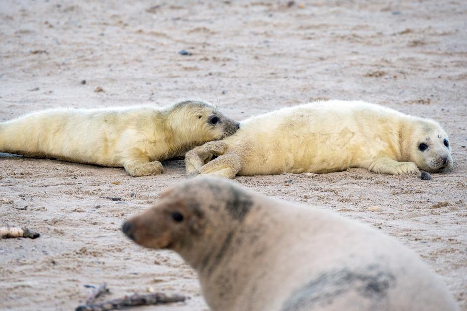 Seal offspring on Helgoland | Autor: Oliver Willikonsky/DPA/PIXSELL