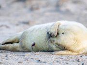 Povijesni otok postao vrtić za tuljane: 'Blizu su i jako živahni'