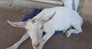 'Tražim svoju kozu Lili. Hranio sam ju na bočicu, obitelj mi je'