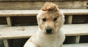 Milijuni ljudi prate štene zlatnog retrivera koje zbog jednog uha podsjeća na 'jednoroga'