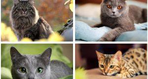 10 pasmina mačaka koje će zavoljeti i najveći obožavatelji pasa