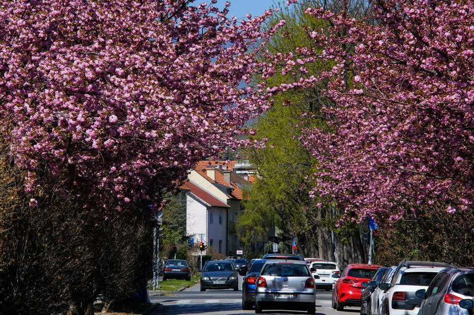 Zagreb: Procvale trešnje u Šulekovoj ulici | Autor: Tomislav Miletic/PIXSELL