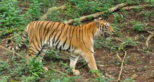 PRVI SLUČAJ ZARAZE POTVRĐEN U NJUJORŠKOM ZOOLOŠKOM VRTU Tigrica Nadia pozitivna je na koronavirus: 'Naše velike mačke imaju slabiji apetit i kašlju'