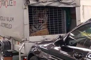 FOTO Tigar na trajektu za Hvar! Jadrolinija: 'Mi nismo dužni pregledavati sadržaj prikolice'